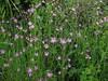 Silene flos-cuculi (Ragged Robin), Afton Marsh, Isle of Wight, 28.5.17 (respect_all_plants) Tags: raggedrobin silenefloscuculi aftonmarsh freshwatermarshes freshwater isleofwight wildflowers