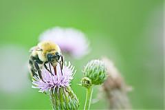 bee (avflinsch) Tags: ifttt 500px nature flower summer leaf grass insect garden little bee flora honey thistle outdoors wild pollen growth no person