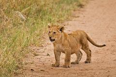 Lions of Maasai Kopjes 435 (Grete Howard) Tags: bestsafarioperator bestsafaricompany africa africansafari africanbush africananimals whichsafaricompany whichsafarioperator tanzania serengeti animals animalsofafrica animalphotos lions lioncubs maasaikopjes kopjes kopje