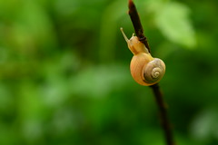 Slow Going (flashfix) Tags: july012017 2017inphotos ottawa ontario canada nikond7100 nikon 40mm camera bokeh snail green dof macro 2minutemacro sooc bush greenscreek stick