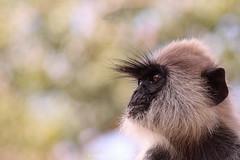 Tufted Langur Portrait (timaliloku) Tags: srilanka graymonkey heliwandura indiansubcontinent monkeys nature oldworld portraits semnopithecuspriam tuftedgraylangur young hopeful eyes