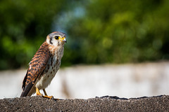 Sparrow Hawk (Germaine Vanguard) Tags: picoftheday caribbean nikond3200 nikonphotography birdspotting wildlifephotography jamaicanwildlife jamaica bird birdsofinstagram chicken hawk nature wildlife