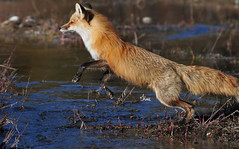 Jumping Red Fox - 6565b+ (teagden) Tags: red fox redfox jumping jump leap leaping water jenniferhall jenhall jenhallphotography jenhallwildlifephotography wildlifephotography wildlife photography nikon wild nature naturephotography wyoming wyomingwildlife