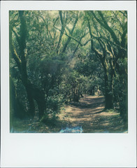 Parque nacional de Garajonay 71 (sycamoretrees) Tags: 600 analog canarias canaryislands color600 color600201604 color600generation31 film forest garajonay impossible instantfilm integral integralfilm lagomera laurelforest laurisilva marianrainerharbach moss nationalpark parquenacionaldegarajonay path polaroid rainforest slr680 spain subtropics trail trees