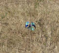 P1150909 Zimbabwe (14) (archaeologist_d) Tags: zimbabwe stanleylivingstonesafarilodge lilacbreastedroller africa southernafrica safari