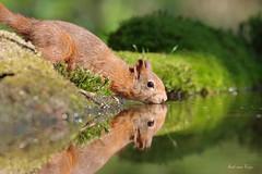 drinking squirrel (aadtje) Tags: dieren eekhoorn drinking squirrel vijver pool sciurus vulgaris