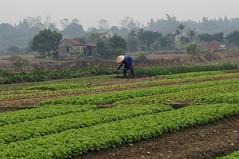 Vietnam daily (Francoise100) Tags: dunst landwirtschaft life communautaire asien asie asia haze farmer campagne paysan rural dongtrieu quangninh vietnam rows vegetables soil green vert grün garden communal mist brume woman work terre