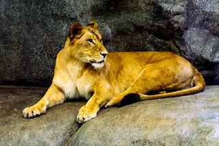 Nino of Female African Lion : アフリカライオンのニノ