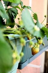 çileklerimiz:) (nilgun erzik) Tags: istanbul sabah kahvaltı çilek fotografkıraathanesi osmanlıçileği fotografca biyerlerde haziran2010 balkondabahçe balkondaçilekyetiştirmek
