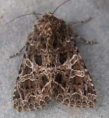 Lychnis moth