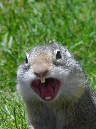screech of mammoth ground squirrel town