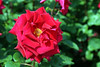 Pride of England (DannyWhitham) Tags: park pink roses flower london rose regent regents prideofengland