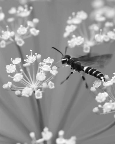 Bee B&W