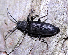 longhorn beetle cf Asemum striatum (BSCG (Badenoch and Strathspey Conservation Group)) Tags: acm beetle longhorn cerambycidae june pine pinus sunshine insect