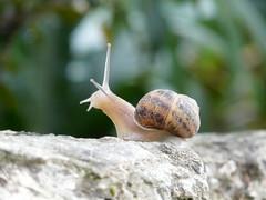 Mural Snail (Firebeetle) Tags: mural snail slug lumaca escargot schnecke caracol mauer chiocciola colimacon