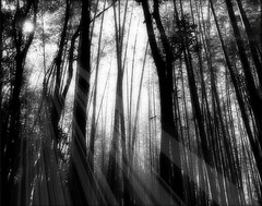 Bamboo Forest in Sagano, Japan (Hopeisland) Tags: trees light bw white plant black tree nature field japan forest spring kyoto grove bamboo april tall sagano 2010     bamboogrove