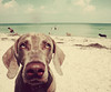dog beachscape (saikiishiki) Tags: ocean sea portrait dog sun seaweed cute love beach dogs water girl beautiful swim de fun eyes sand florida good gorgeous scene weimaraner ft sparkly soto dogbeach intelligent omoshiroi weim mukha ftdesoto thelittledoglaughed actionbyapplesandsistersthanks