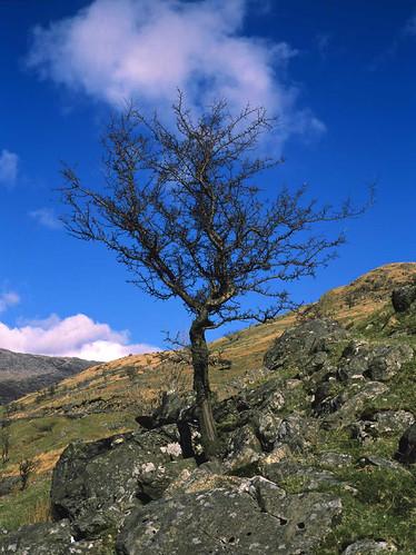 snowdonia nationalpark hawthorn tree wales parc cenedlaethol eryri coeden draenen ddraenen coed gogledd cymru north uk
