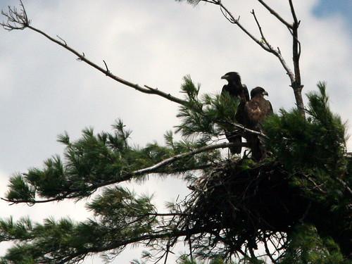 Eaglets 20100629