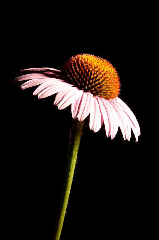 Day 264- Flower on Black