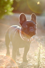 . (susilalala) Tags: frenchbulldog conchita bulldogfrances