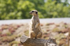 Meerkat (p_a_h) Tags: meerkat londonzoo