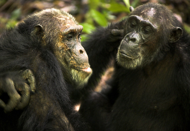 Greystoke Mahale chimp 7 - MICHAEL POLIZA