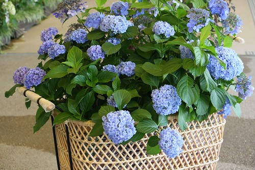 The hydrangeas in the basket