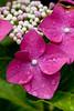 "Flower, Hydrangea ""Fazan"" (nekonomania) Tags: hydrangea アジサイ reddishpurple kyotobotanicalgarden 京都府立植物園"