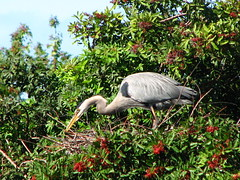 Nesting Great Blue Heron (flutterbye216) Tags: venice wild sky tree bird heron canon nest florida 1001nights powershots3