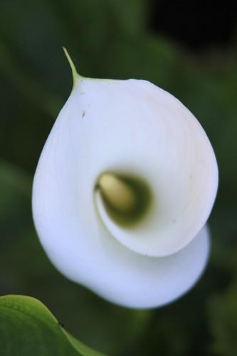 Lily swirl