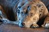 DSC_8393_tonemappedsmaller (Kulu40) Tags: dog photoshop nikon pit gloucestershire handheld staffie hdr d300 photomatix tonemapping 18200vr oneraw topazclean topazadjust