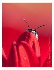 """Escondido"" (Angel Sosa) Tags: red flower bug rojo flor ojos antena bicho petalos chinche angelsosa macrolife"