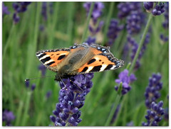 Tortoiseshell on lavender! (macfudge1UK) Tags: uk summer england flower nature thames fauna butterfly bug river insect flora europe wildlife scenic lavender lepidoptera bloom sos riverthames oxfordshire aglaisurticae thamespath smalltortoiseshell 2010 oxon lavendula allrightsreserved hs10 countryfile eynshamlock theunforgettablepictures unforgettablepicture lttf fujifilmfinepixhs10 fujihs10 rspblovenature bbcnatureuksummerwatch