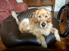 Peggy (WildKatCa) Tags: uk red dog wheel goldenretriever suffolk chair unitedkingdom wheelchair lounge watching peggy beanbag burystedmunds wildkat wwwwildkatca spinergylx