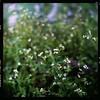 (19/77) Tags: flower slr film tiny malaysia 1977 negativescan kiev88 mediumfromat kodakektacolorpro160 autaut canoscan8800f arsat80mmf28 myasin