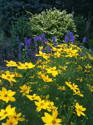 yellow lavender bliss