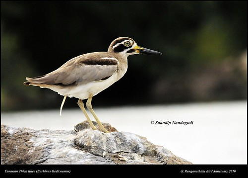 Eurasian Thick Knee-Pooing