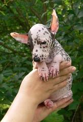 Hot summer babe (revival74) Tags: dog inca hairless peruvian
