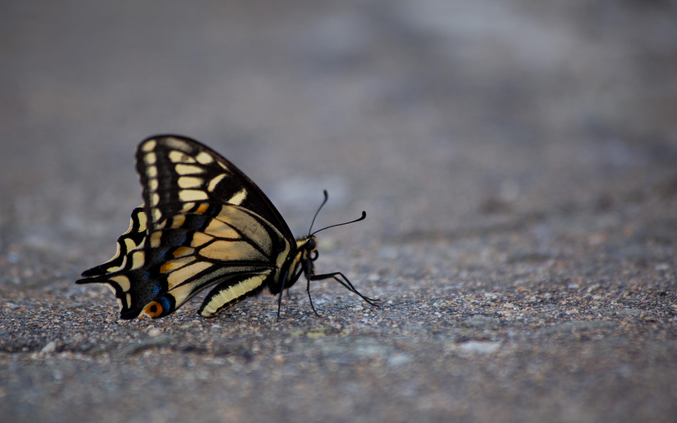 4774188105 c10e0da5b7 o butterfly   desktop background wallpaper
