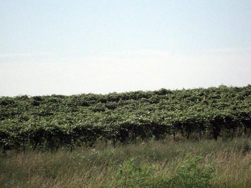 Fennville Vineyards