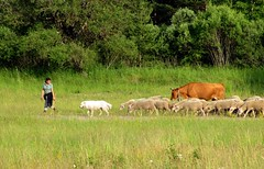 mieux que le Tour de France : la transhumance (b.four) Tags: dog chien cane cow sheep shepherd mouton vache dda berger alpesdehauteprovence naturesfinest transhumance pecora cherryontop bergère supershot lafoux abigfave anawesomeshot impressedbeauty diamondclassphotographer flickrdiamond citrit rubyphotographer mygearandme mygearandmepremium peyroules mygearandmebronze mygearandmesilver
