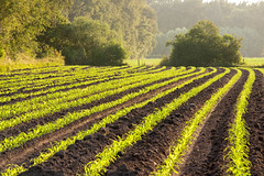 Opkomend mais (Bert (A.H.) Roos) Tags: nature corn thenetherlands natuur mais maize gelderland graan barneveld kleinbylaer zeamayslsspmays