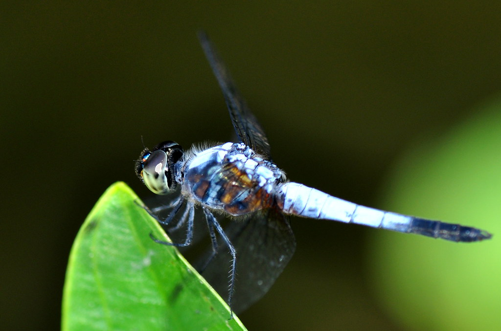 Blue Dragonfly 蓝蜻蜓 ...