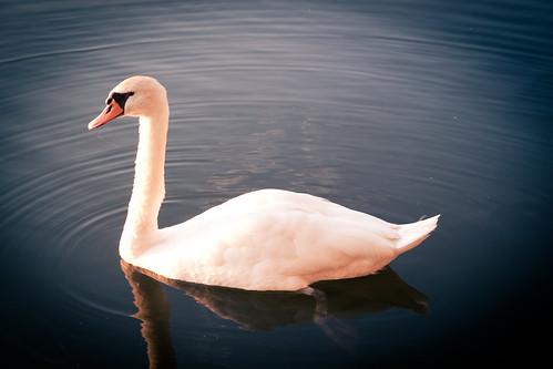 [フリー画像] 動物, 鳥類, カモ科, 白鳥・ハクチョウ, 201007151700