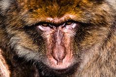 Angry monkey portait