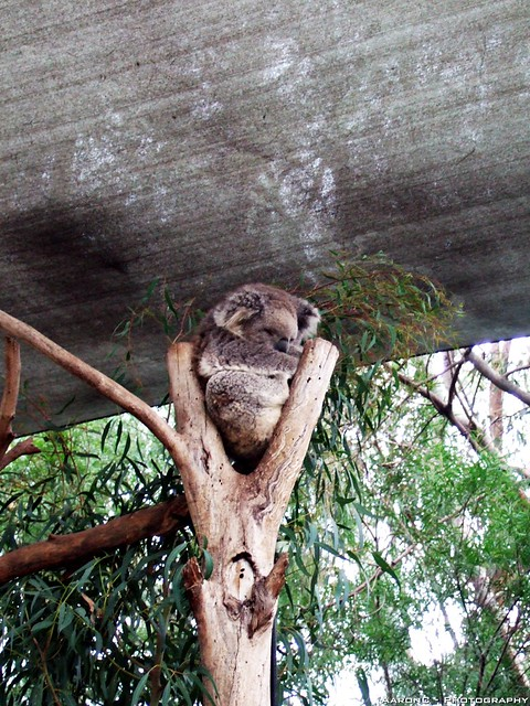 Sleepy Koalsa