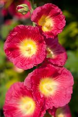 Hollyhock 1 (rvanr) Tags: plant flower amsterdam garden nederland stamen pollen hollyhocks