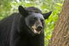 American Black Bear (Boreal Photography) Tags: bear wildlife boreal