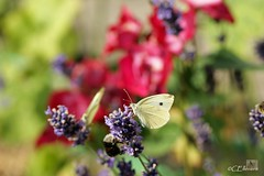 Großer Kohlweißling / Large White (9) (Ellenore56) Tags: life light summer white inspiration color colour nature animal butterfly garden insect licht loop sommer sony natur lavender july philosophy cycle physics environment imagination mathematics juli alpha economic creature magical farbe insekt garten chaostheory leben tier ecological umwelt lavendel largewhite butterflyeffect pierisbrassicae lebewesen disambiguation turbulenzen kohlweisling schmetterlingseffekt chaostheorie groserkohlweisling dslra350 sonyalphadslra350 philosofi ellenore56 13072010 dynamicl